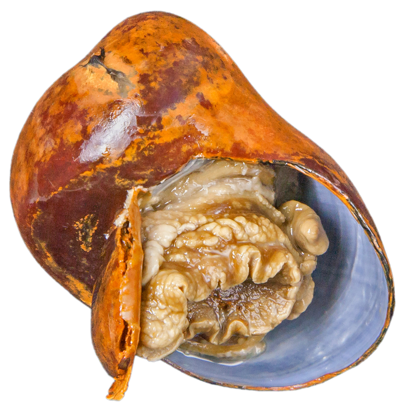 香港科大首次破译深海热液神盾螺共生体基因组揭秘地球极端环境的生存策略