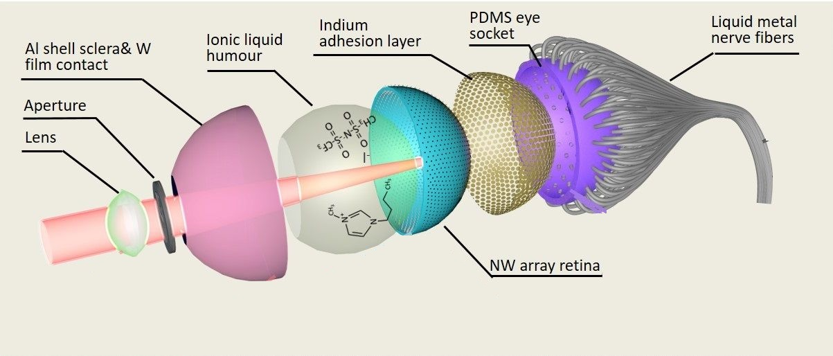 Structure of EC eye