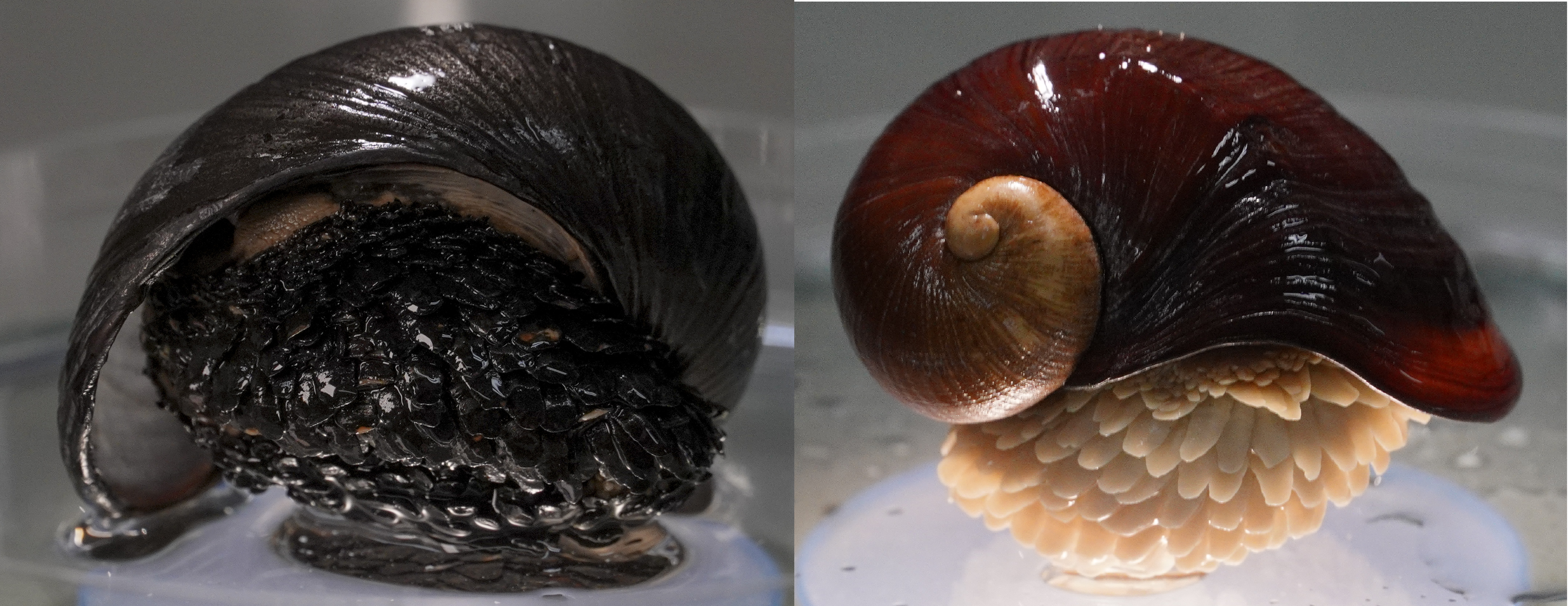 The Scaly-foot Snail on the left has incorporated the iron from the hydrothermal vent while the one on the right has not.