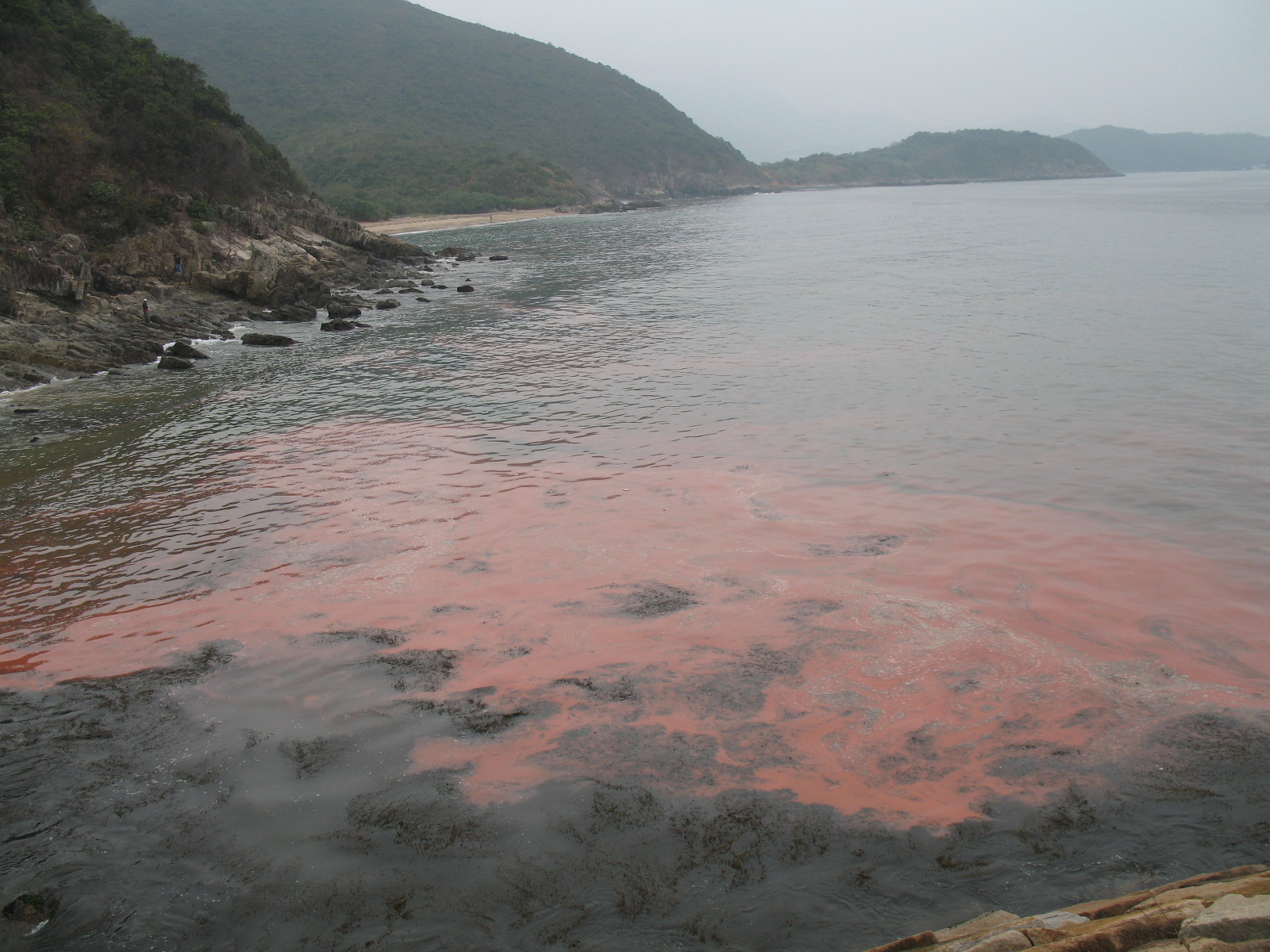 Red tides caused by dinoflagellates