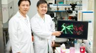 HKUST Identifies a Novel Protein in Muscle Stem Cells Fuelling hopes for Stem Cell Treatments for Muscular Dystrophy