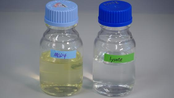 Living cyanobacteria grown in sea water (left) and dead cyanobacterial culture (right).